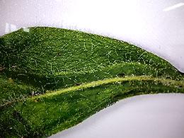 3センチ程度の葉を拡大すると立体感や繊毛などが詳細に観察できる